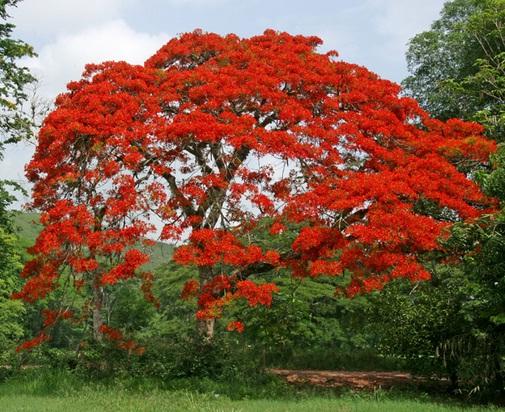 Budidaya Pohon Flamboyan